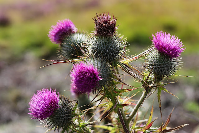 road trip through scotland: scotch thistle in the highlands