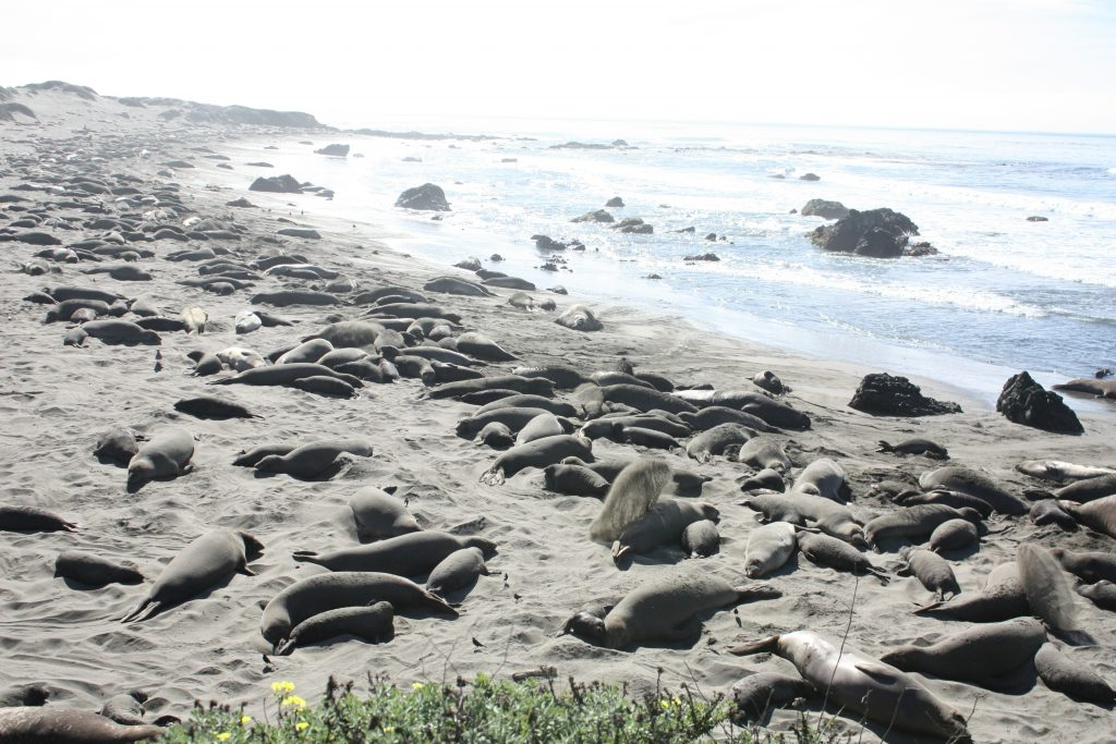 Big Sur itinerary: elephant seals in San Simeon, CA