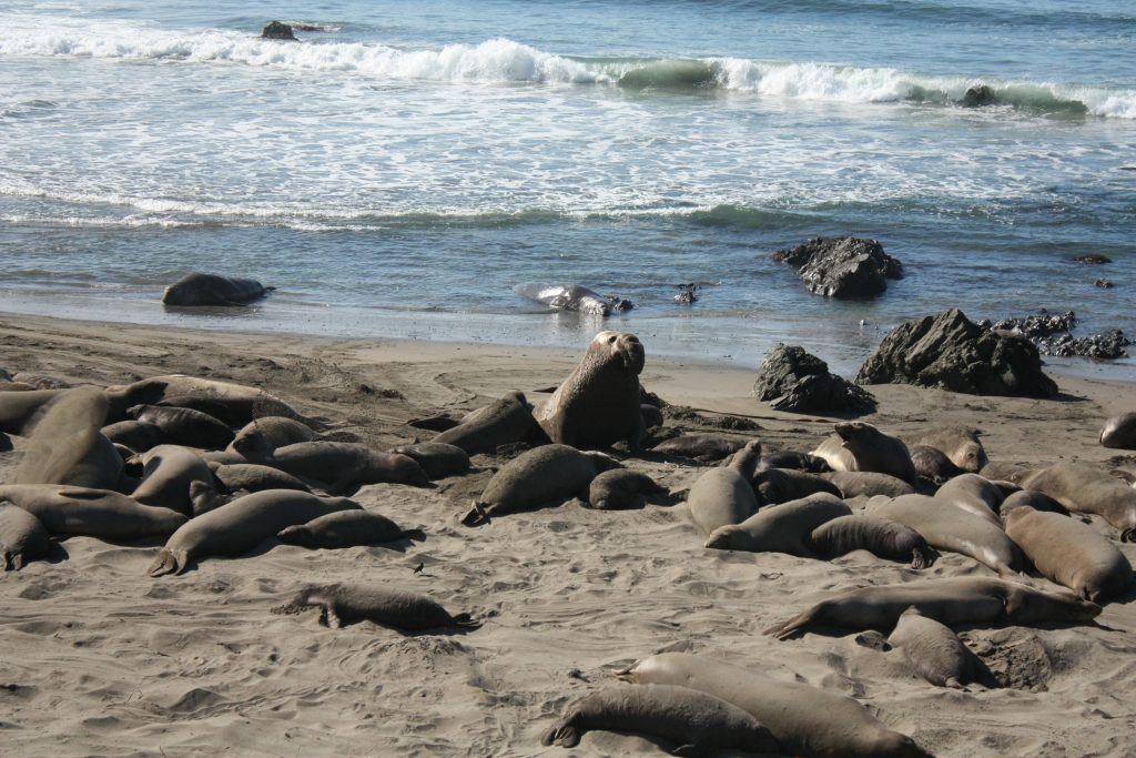Big Sur stops: elephant seals in San Simeon