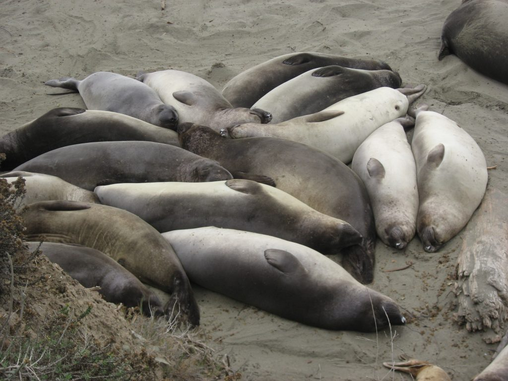 Big Sur road trip itinerary: elephant seals in San Simeon, CA